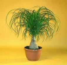 ived plantas de ornato