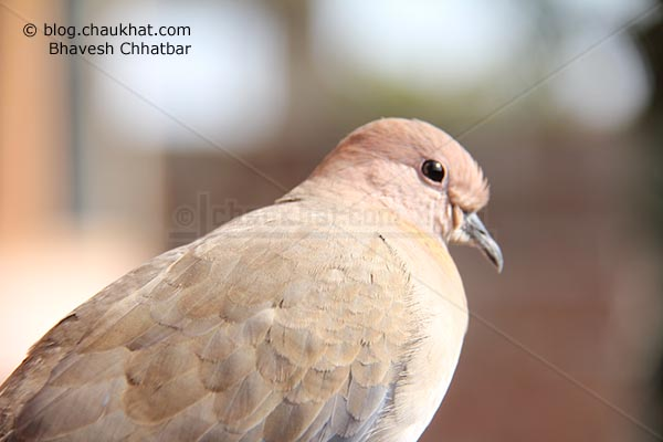 Laughing Dove [Stigmatopelia senegalensis] - Little Brown Dove in city
