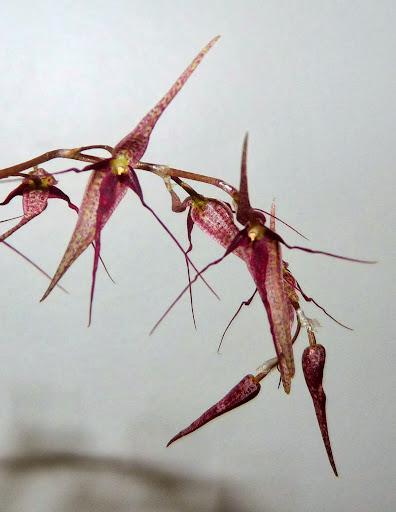 Pleurothallis schweinfurthii P1370038
