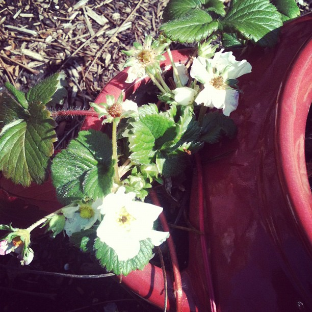 my strawberries are still alive!