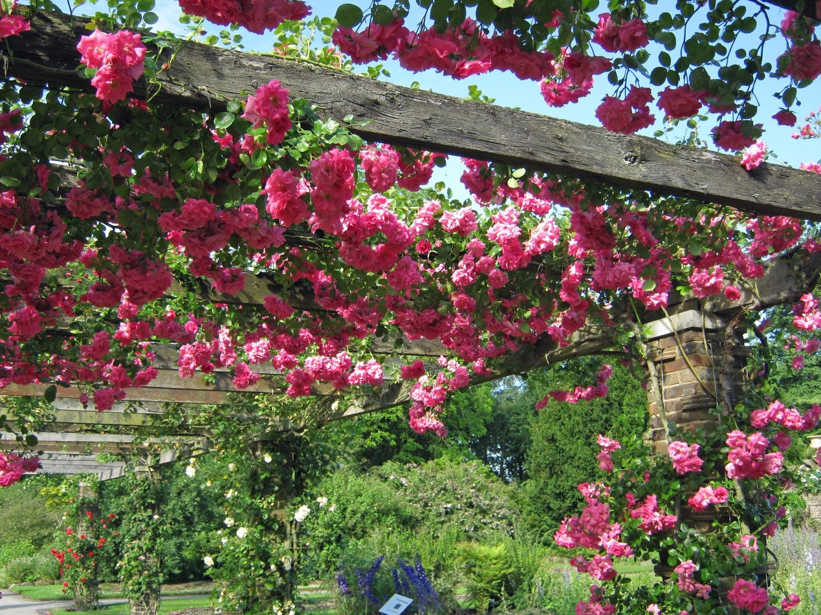 Sử dụng hoa hồng leo trên giàn pergola