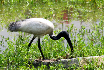 09-Oct-2014 Black-headed Ibis (Pic: Gopinath Subbarao)