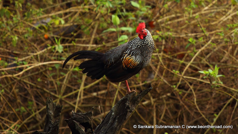 Grey Junglefowl - one early morning at Nagarhole National Park - 4