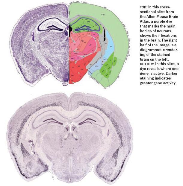 Expresión de genes y neuroanatomía | cronicas/jonicas