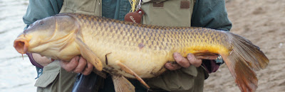 Osprey punctured carp.