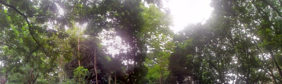 pohon rimbun