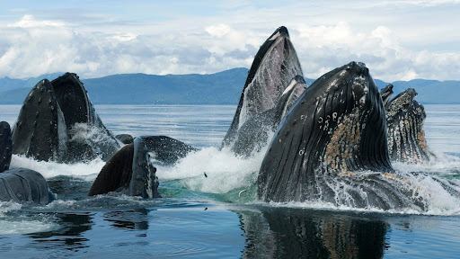 Humpback Whale Group Bubble Net Feeding, Chatham Strait, Alaska.jpg