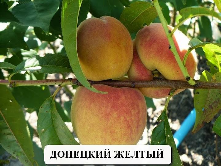 Донецкий желтый персик купить