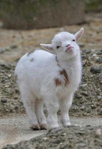 Cute Baby Goat
