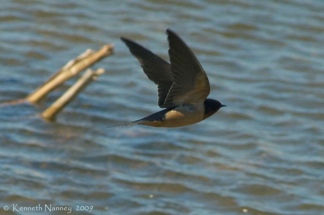 North-Central Texas Birds - Barn Swallow