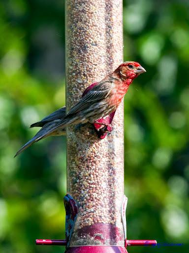 Red_Bird-2014-06-8-21-13.jpg