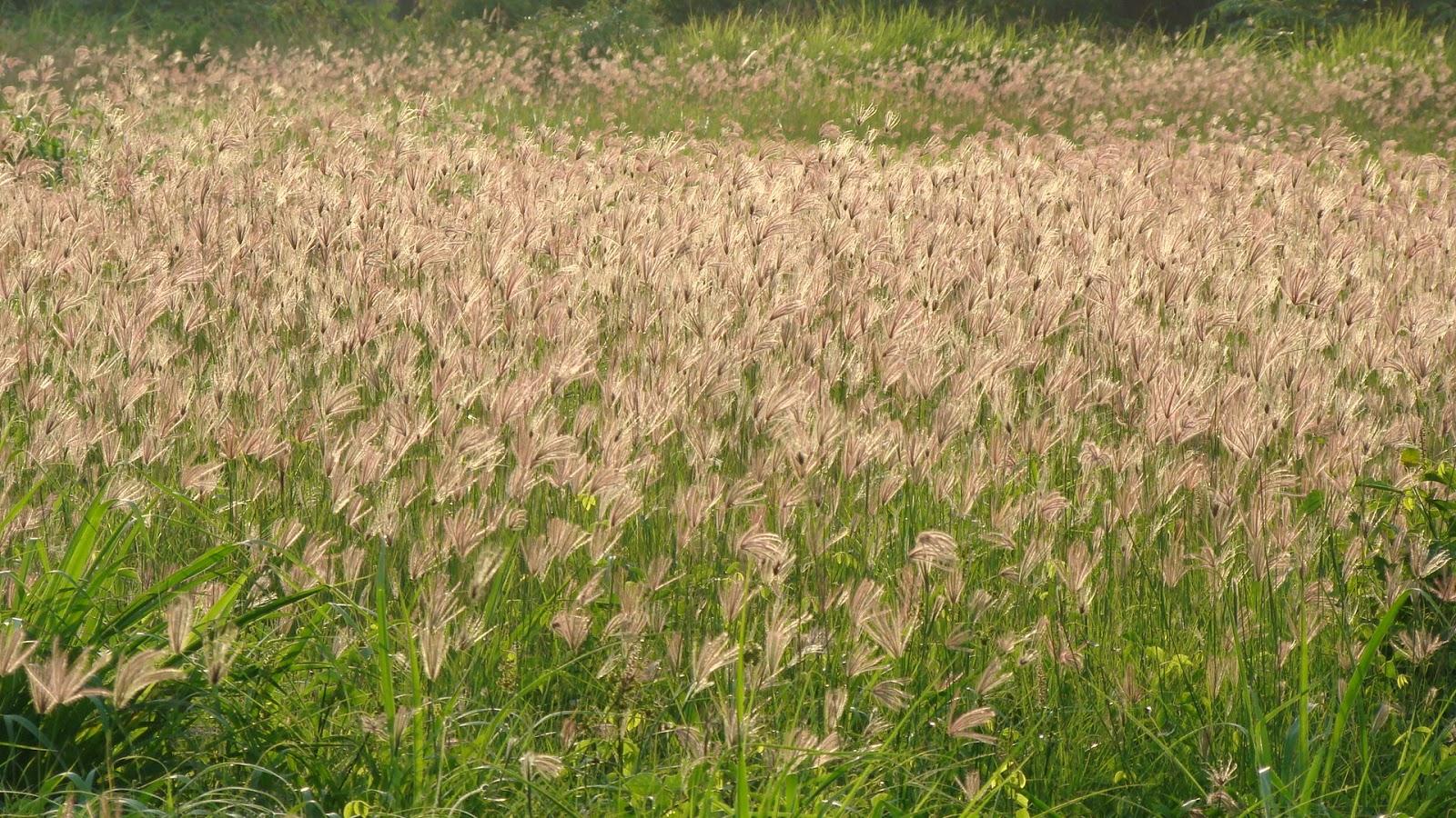 Vườn hoa cỏ may