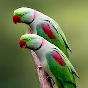к чему снится волнистый попугай?