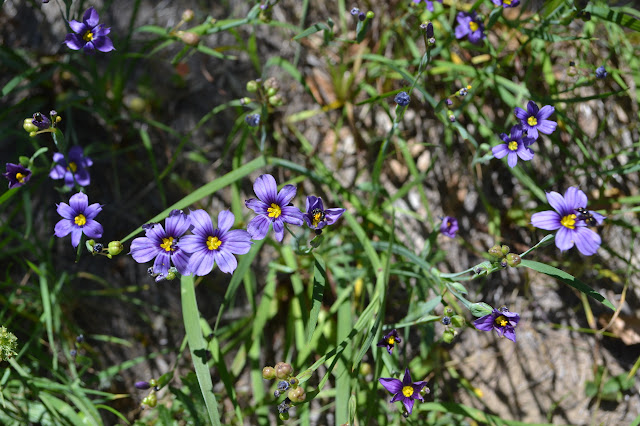 deep blue, almost purple, flowers with stripes