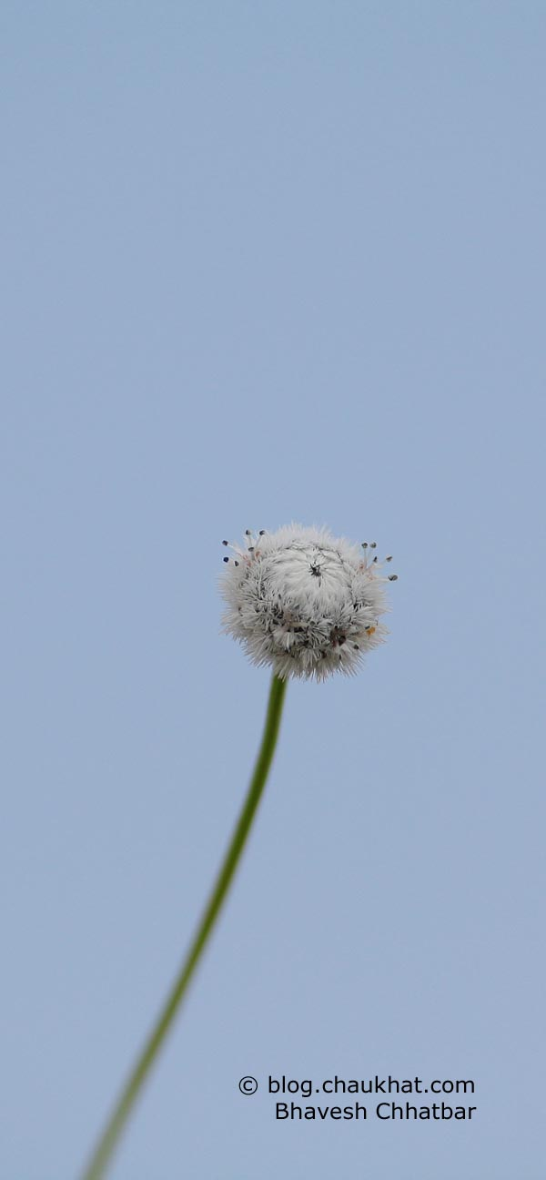 Tiny white colored flower at the beautiful Kas Plateau. Look at the antennae!