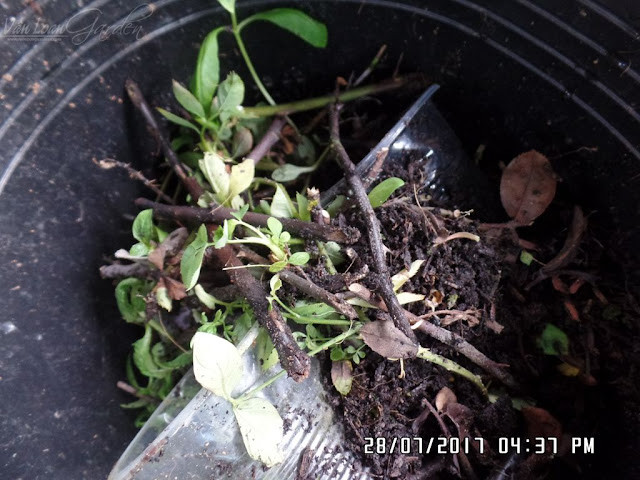 Các cành hồng giâm cành bị thối đen trước khi ra rễ