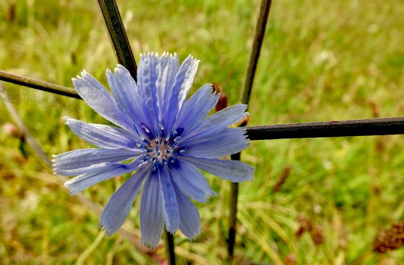 floare lacul vacaresti iulie 2013