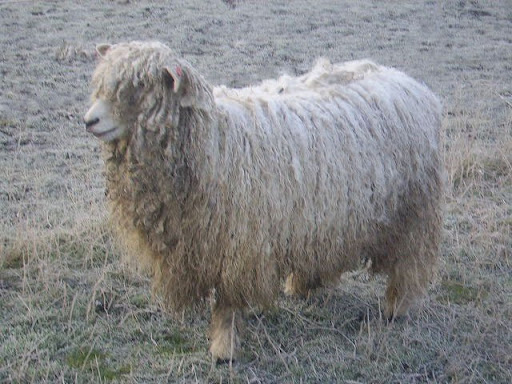 Wool still on the sheep (image from Wikipedia). (HOW do they see!?)