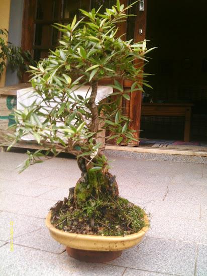 Ficus Nerifolia, Uma raiz de 3 anos... - Página 2 IMAG0091