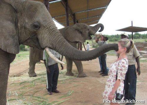 Hình ảnh vui voi hôn cô gái