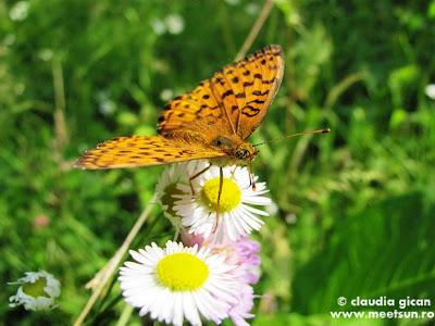 fluture portocaliu la cules de polen
