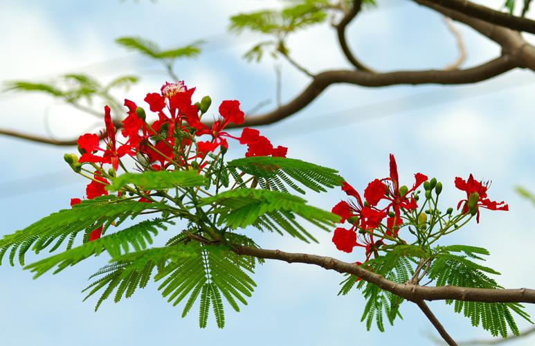 nhành hoa phượng đẹp