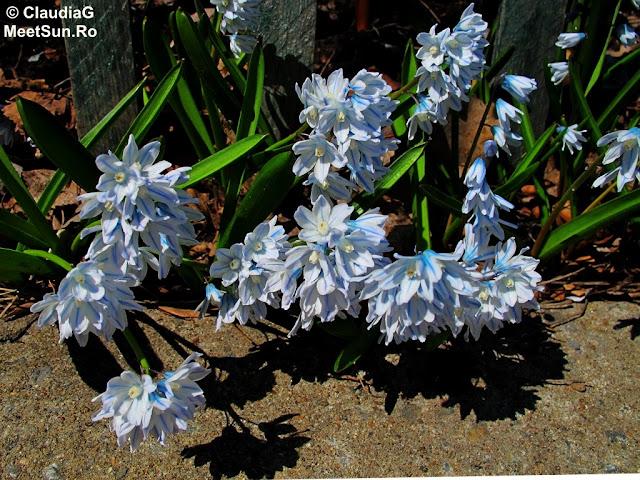 zambile șatirate alb-albastre