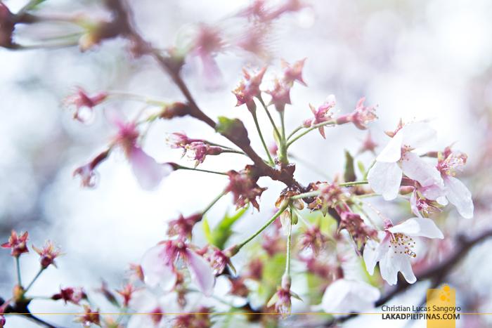 Sakura at Atago Shrine in Tokyo