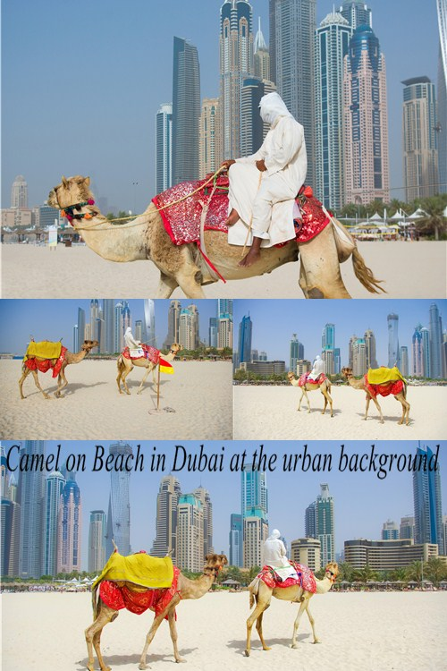 Stock Photo: Camel on Beach in Dubai at the urban background