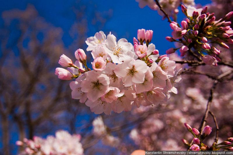 USA District Of Columbia Washington DC Cherry Blossom Washington Monument США Округ Коламбия Вашингтон ДиСи Сакура Вишня цветы цветет