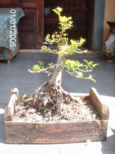Ficus Microcarpa var. Indica... PICT2537