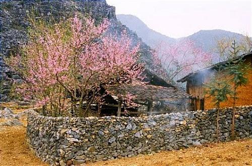 mua hoa dao no o ha giang4 Mùa hoa đào nở ở Hà Giang