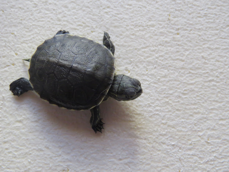 mes tortues (BK) - Page 12 IMG_3724