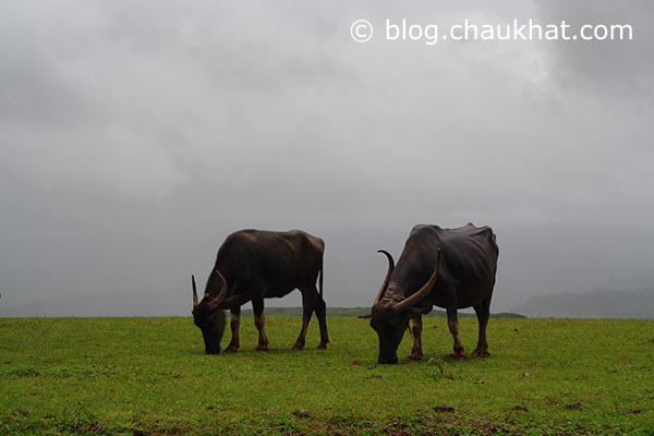 2 buffaloes grazing near Kas plateau