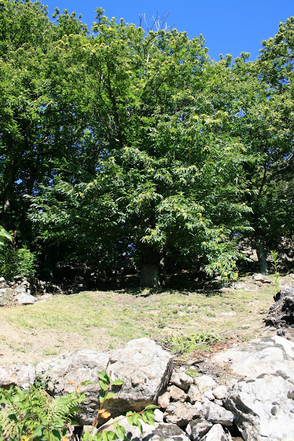 Terrasses dégagées pour la récolte des châtaignes