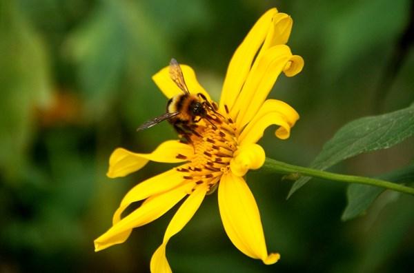 Ảnh chú ong đang hút mật hoa dã quỳ