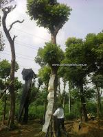 Cây Sấu, cây xanh công trình