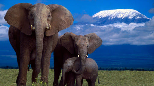 African Elephants, Amboseli National Park, Kenya.jpg