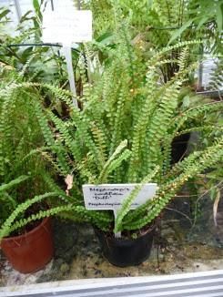 Nefrolepis sercolistny Nephrolepis cordifolia