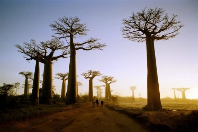 pohon terbesar