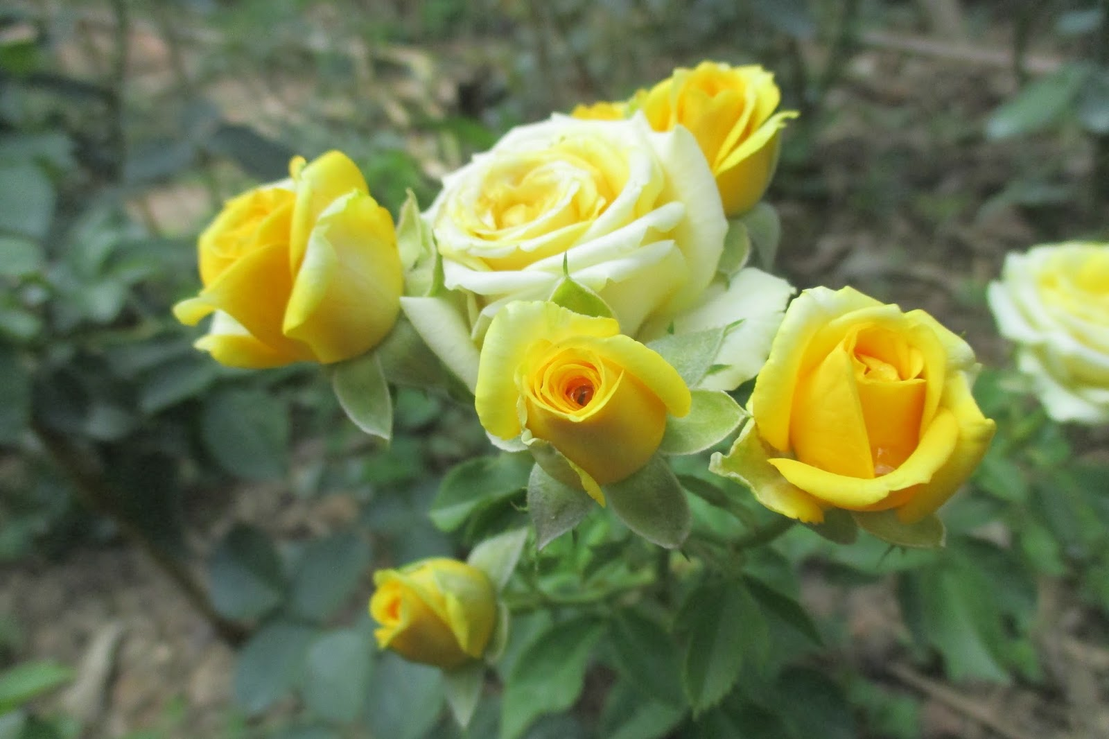 Hoa hồng tiểu muội vàng Sa Đéc