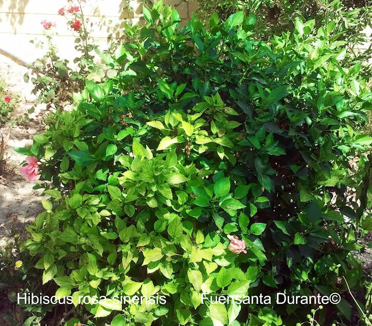 Cuidados del hibiscus plantas for Florida v jardines
