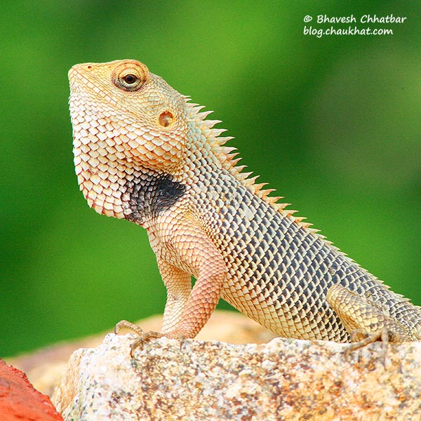 Oriental Garden Lizard [Calotes versicolor]