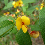Yellow pea flower (312206)