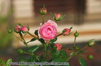 Băn khoăn nên mua hoa hồng Trung Quốc hay Thái Lan - THI CÔNG NỘI THẤT