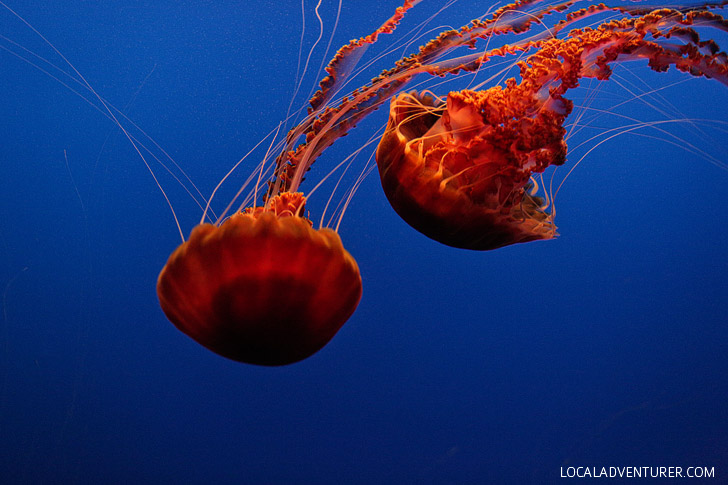 Black Sea Nettle (chrysaora achlyos).