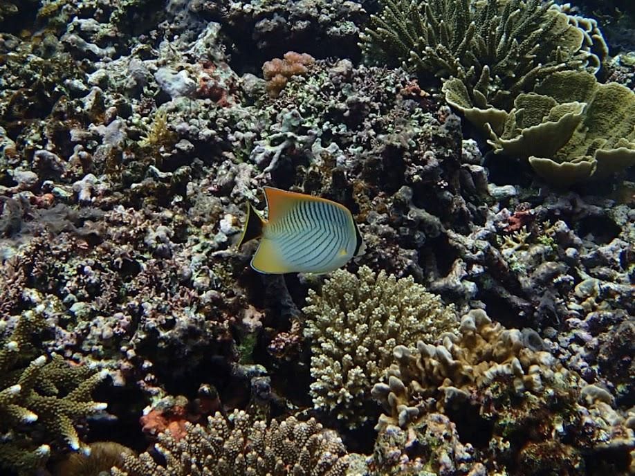 Chaetodon trifascialis (Chevron Butterflyfish), Small Lagoon, Miniloc Island, Palawan, Philippines.