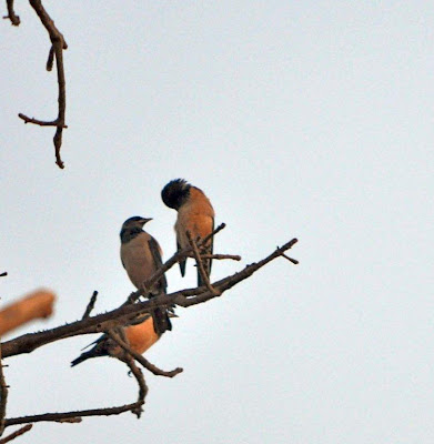 Jan-2012 Rosy Starling Pic: Sujesh S.