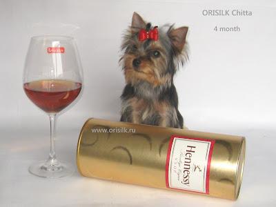 Orisilk Chitta щенок йоркширского терьера Орисилк Читта фото www.orisilk.ru