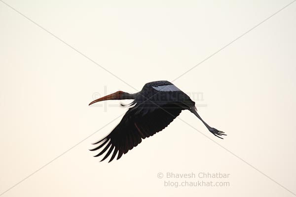 Painted stork about to land